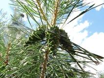 Conos verdes en el pino Fotos de archivo
