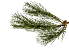 Conos verdes hermosos del pino en una rama, aislada en una parte posterior del blanco Imágenes de archivo libres de regalías