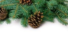 Conos y abeto del pino Fotos de archivo libres de regalías