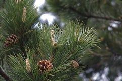 Conos y agujas del pino Imágenes de archivo libres de regalías