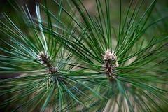 Conos y agujas en el árbol de navidad fotos de archivo