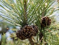 Conos y conífera del pino Foto de archivo