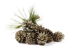 Conos y planta del pino Foto de archivo