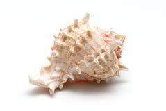 Conque de mer d'isolement sur le blanc Photographie stock