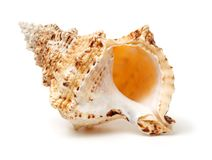 Conque polynésienne Shell Horn image stock
