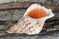 Conque polynésienne Shell Horn dans des îles Cook de Rarotonga photos libres de droits