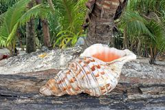 Conque polynésienne Shell Horn dans des îles Cook de Rarotonga photo stock