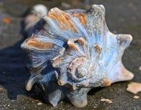 Conque Shell Bulls Island South Carolina photo libre de droits