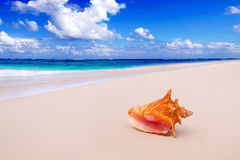 Conque Shell sur la plage. photo stock