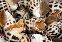Conque vivante d'escargot de mer Image libre de droits