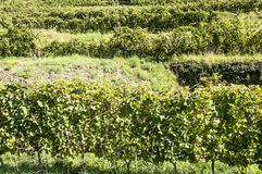 Conques vineyards Stock Photography