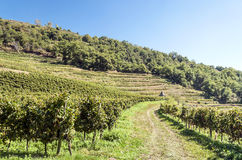 Conques vineyards Royalty Free Stock Image