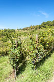 Conques vineyards Stock Image