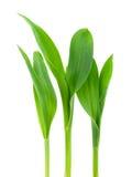 Conr plant Stock Image