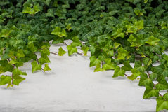 Conrete wall with green ivy Royalty Free Stock Image