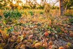 Conséquences de grêle dans le jardin de fruit Peaches Fell From Tree Dur photos stock