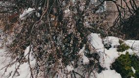 Conseguenze di una tempesta della neve in primavera Alberi di fioritura rotti, rami nevosi, neve e fiori, precipitazioni nevose,  archivi video