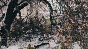 Conseguenze di una tempesta della neve in primavera Alberi di fioritura rotti, rami nevosi, neve e fiori, precipitazioni nevose,  video d archivio