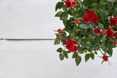Conseil vide blanc et roses rouges Images stock