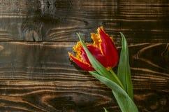 Conseils foncés avec la tulipe jaune rouge avec la frange sur les pétales Photographie stock libre de droits