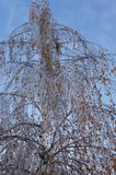 The consequence of freezing rain. The formed ice on the birch branches after freezing rain Royalty Free Stock Images