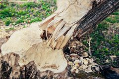 The consequence of the invasion of beavers. The beavers chewed the tree trunk royalty free stock photography