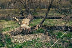 The consequence of the invasion of beavers. The beavers chewed the tree trunk stock images