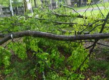 Consequence of Storms. Green, tree, oak, wet bark,branches stock photos