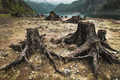 Consequences of deforestation around lake. Tree stumps after deforestation located around Alpine lake in Austria Royalty Free Stock Photography