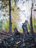 The consequences of forest fires, the ashes of burnt trees royalty free stock photography