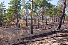 Consequences of grassroots wildfire in the pine forest Royalty Free Stock Photo