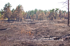 Consequences of grassroots wildfire in the pine forest Royalty Free Stock Image