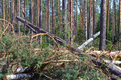 Consequences of hurricane Asta, Russia.  Royalty Free Stock Photography
