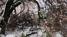 Consequences of a snow storm in spring. Broken flowering trees, snowy branches, snow and flowers, snowfall, climate. Consequences of a snow storm in spring stock video