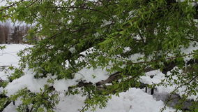 Consequences of a snow storm in spring. Broken tree with green foliage is covered with snow, snowy branches, snow and. Flowers, snowfall, climate change, snowy stock video footage