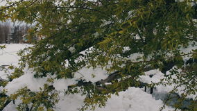 Consequences of a snow storm in spring. Broken tree with green foliage is covered with snow, snowy branches, snow and. Flowers, snowfall, climate change, snowy stock footage