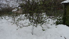 Consequences of a snow storm in spring.A young apple tree with newly blossomed green leaves stands in the snow, climate. Consequences of a snow storm in spring stock footage