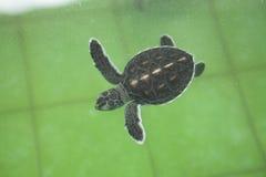 Conservação da tartaruga de mar da espécie marinha Imagens de Stock Royalty Free