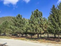 Conservação das árvores de pinhos em montanhas de San Bernardino foto de stock