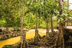 Conservação e turista da floresta de Tha Pom Klong Song Nam Mangrove fotos de stock royalty free