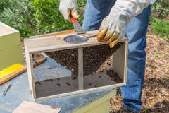 Conservation des abeilles photo libre de droits