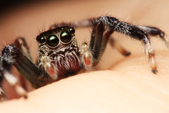 Conservation effort lies in Human Hand. A Vulnerable tiny spider lie on human palm, indicating that wildlife is fragile and can easily be destroyed or protected Stock Photo