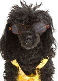 Conservative Poodle Stock Photography