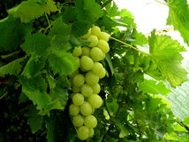 Conservatory Grapes. One for gardeners Royalty Free Stock Images