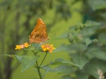 Conservi la previsione di download una piccola farfalla sveglia nel giardino della farfalla di bello parco della miniatura dell'I Fotografie Stock Libere da Diritti