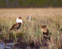 4 consideráveis brigãos Luta dos pavões-do-mar no pântano Fotografia de Stock Royalty Free