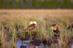 4 consideráveis brigãos Luta dos pavões-do-mar no pântano Foto de Stock Royalty Free