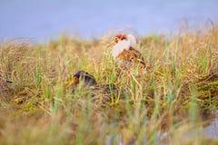 4 consideráveis brigãos Luta dos pavões-do-mar no pântano Fotos de Stock