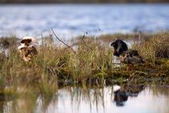 4 consideráveis brigãos Luta dos pavões-do-mar no pântano Imagem de Stock Royalty Free