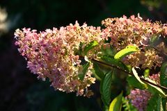 Large inflorescences of a hydrangea. Stock Photos